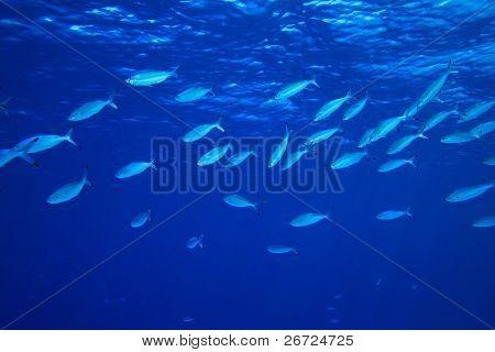 Shoal of Red Sea Fusiliers feeding on plankton