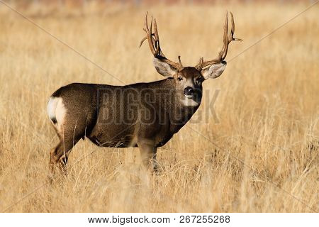 Mule Deer Buck - Wild Deer In The Colorado Great Outdoors