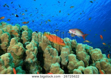 Dome Coral (Porites nodifera) and Grouper and Anthias Fishes poster