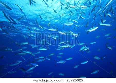 Shoal of Fusilier Fish on blue background