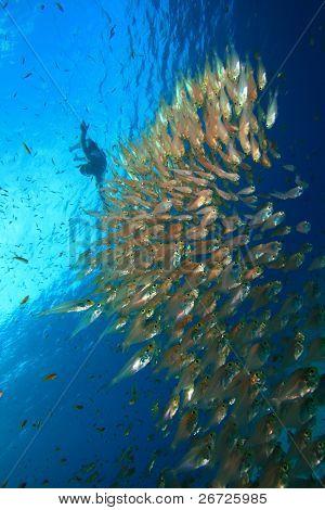 Snorkeler dives onto shoal of Glassfish poster