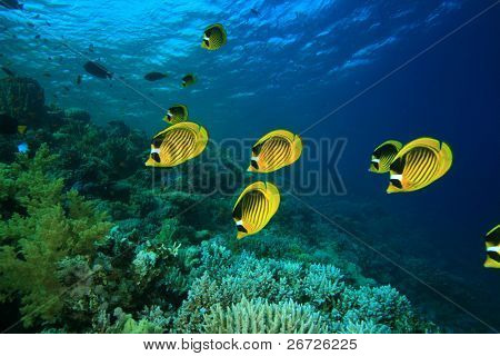 School of Red Sea Raccoon Butterflyfish on a tropical coral reef