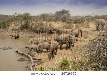 Herd of African Elephants drinking at a Waterhole