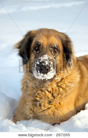 poster of a big dog  playing in the snow