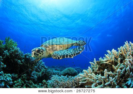 Hawksbill Sea Turtle on a Coral Reef