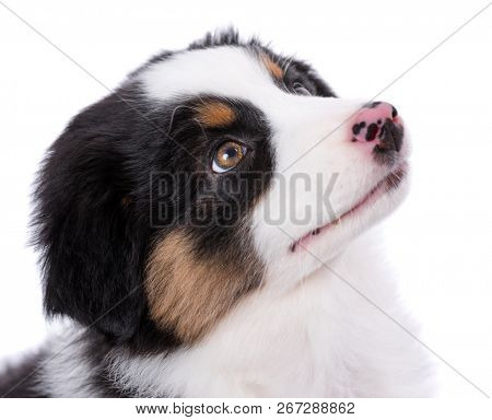 Australian Shepherd purebred puppy, 2 months old looking away - close-up portrait. Black Tri color Aussie dog, isolated on white background.