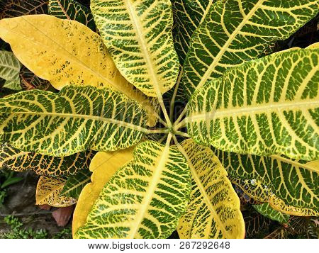 Looking Into A Yellow And Green Croton Plant After A Rainstorm Covered In Raindrops