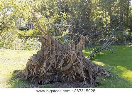 A Pine Tree Knocked Over By A Windstorm Lies On The Grass With Its Root Ball Exposed
