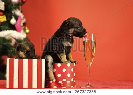 Year Of Dog, Holiday Celebration With Champagne In Wine Glass. Santa Puppy At Christmas Tree In Pres