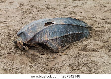 Empty Shell Of A Dead Leatherback Sea Turtle Dermochelys Coriacea At A Beach In Tortuguero National