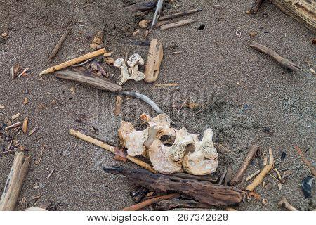 Scattered Bones Of A Dead Leatherback Sea Turtle Dermochelys Coriacea At A Beach In Tortuguero Natio
