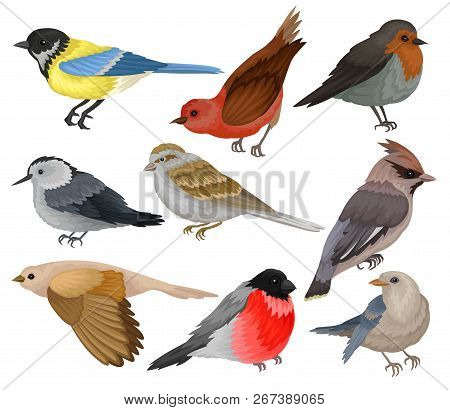 Set of winter birds. Wildlife and fauna theme. Wild feathered animal. Flat vector elements for ornithology book poster