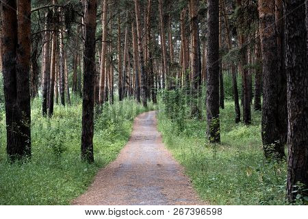 Walk In The Fresh Air Along The Health Path In The Pine Forest, Pine Trees Growing On Both Sides Of