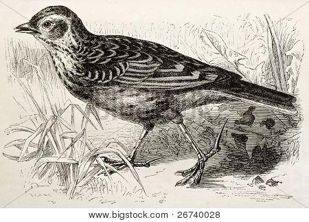 Old illustration of a Skylark (Alauda arvensis). Created by Kretschmer, published on Merveilles de la Nature, Bailliere et fils, Paris, 1878
