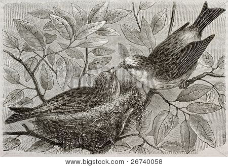 Old illustration of European Serin (Serinus serinus). Created by Bocourt and Dupre, published on Merveilles de la Nature, Bailliere et fils, Paris, 1878