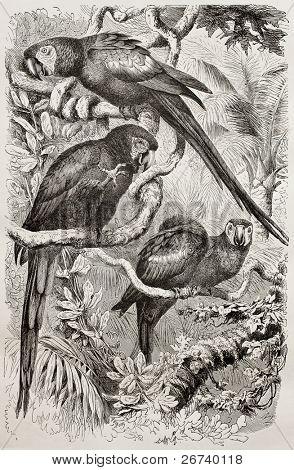 Old illustration of Scarlet Macaw (Ara macao). Created by Kretschmer and Schmid, published on Merveilles de la Nature, Bailliere et fils, Paris, 1878