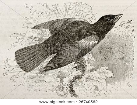 Old illustration of Red-winged Blackbird (Agelaius phoeniceus). Created by Kretschmer, published on Merveilles de la Nature, Bailliere et fils, Paris, 1878