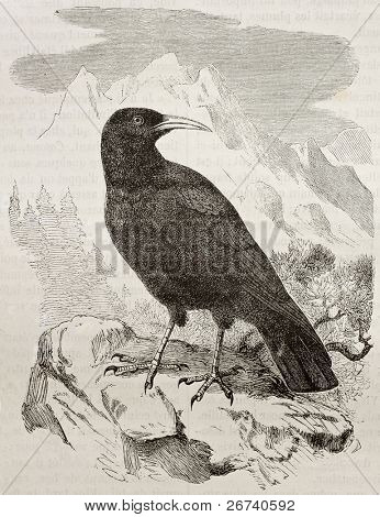 Old illustration of Red-billed Chough (Pyrrhocorax pyrrocorax). Created by Kretschmer and Jahrmargt, published on Merveilles de la Nature, Bailliere et fils, Paris, 1878