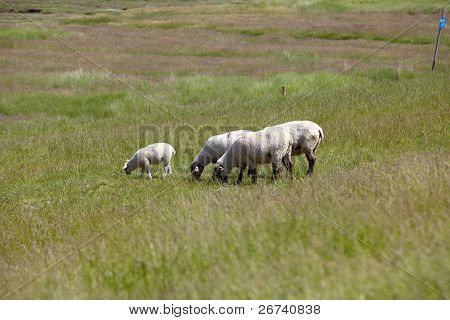 Sheeps on the meadow