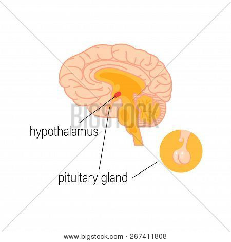 Cross Section Of Human Brain. Hypothalamus And Pituitary Gland. Endocrine System Infographic In Simp