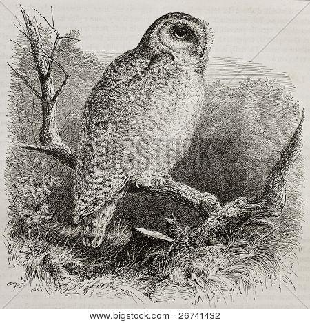 Old illustration of Snowy Owl (Bubo scandiacus). Created by unidentified author, published on Merveilles de la Nature, Bailliere et fils, Paris, 1878