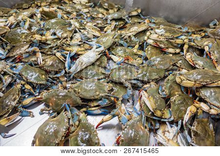Freshly Harvested Blue Swimmer Crabs Gathered In A Large Metal Tub Ready For Sale To The Public.