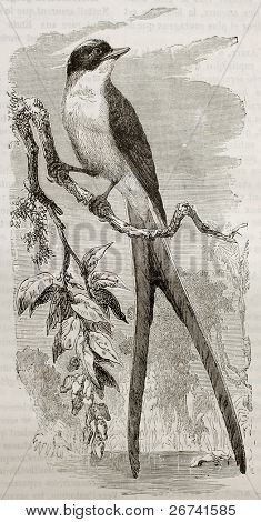 Fork-tailed Flycatcher old illustration (Tyrannus savana). Created by Kretschmer and Illner, published on Merveilles de la Nature, Bailliere et fils, Paris, 1878