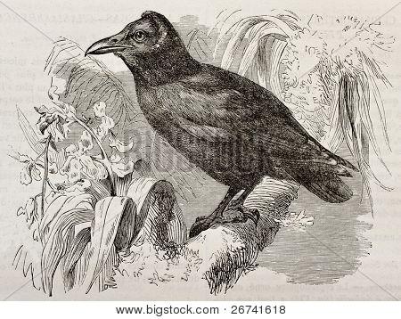 Capuchinbird old illustration (Perissocephalus tricolor). Created by Kretschmer, published on Merveilles de la Nature, Bailliere et fils, Paris, 1878 poster