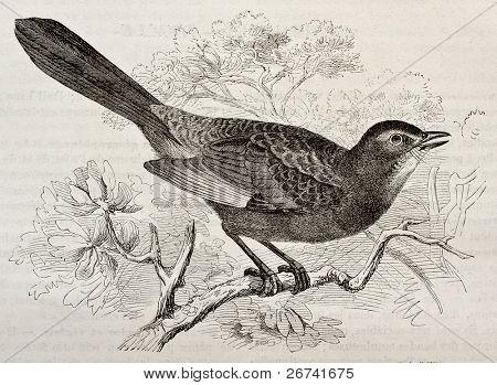 Grey Catbird old illustration (Dumetella carolinensis). Created by Kretschmer and Schmid, published on Merveilles de la Nature, Bailliere et fils, Paris, 1878