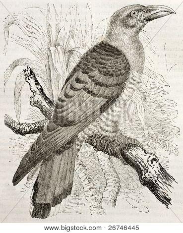 Channel-billed Cuckoo old illustration (Scythrops novaehollandiae). Created by Kretschmer and Illner, published on Merveilles de la Nature, Bailliere et fils, Paris, ca. 1878 poster