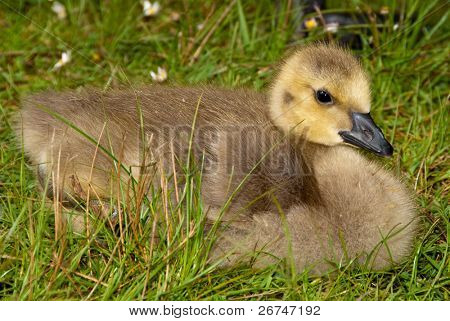 Young Baby Canada Goose Resting On Grass