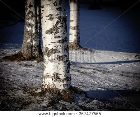 Closeup, Macro Of Old Birches Tree, The Trunks. Rustic Texture. Snow And Hill.
