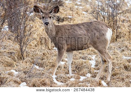 Wild Deer In The Colorado Great Outdoors. Mule Deer Doe On A Grassy Hill With Snow