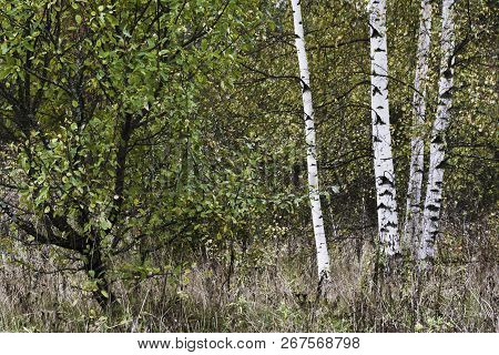 Slender White Birch Trunks In The Autumn Forest, Russia.