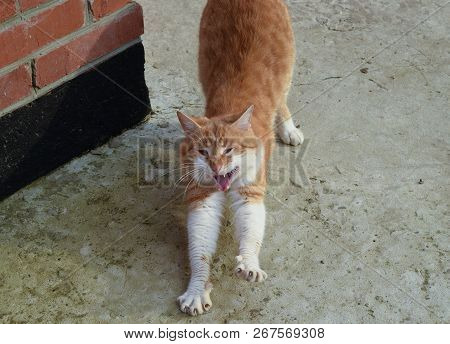 poster of Adult red - white cat. Yawning red cat.