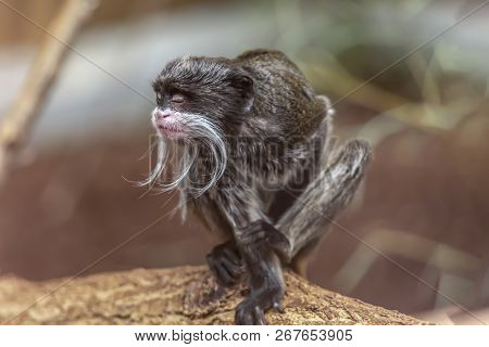 Detailed View Of A Cute And Expressive Emperor Tamarin, Saguinus Imperator, In Portugal