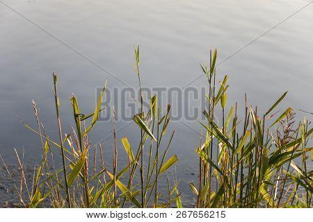 Sunlit Green Reeds By Blue Calm Water