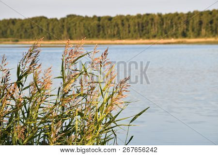 Beautiful Sunlit Reeds With Fluffy Flowers By A Calm Water