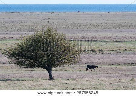 Single Black Sheep In A Wide Grassland On The Swedish Island Oland In The Baltic Sea
