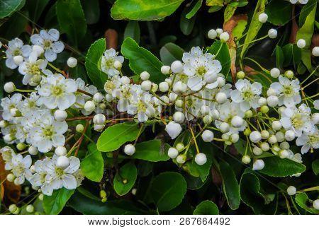 Leaves And Flowers Of Laurustinus, Viburnum Tinus. It Is A Species Of Flowering Plant In The Family
