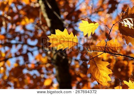Bright Orange Oak Leaf On A Branch Against Sky And Foliage. Vivid Autumnal Image.
