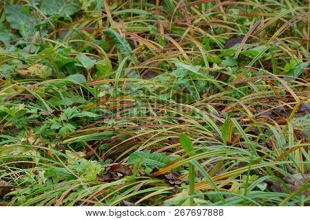 Natural Plant Texture Of Green And Brown Long Grass