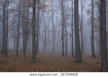 Autumn Forest Mist Landscape. Forest Fog Trees Silhouette In Autumn. Autumn Forest Fog Trees Backgro