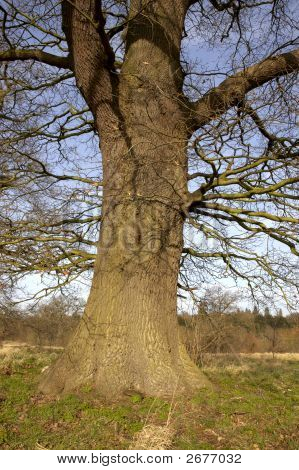Oak Tree Trunk