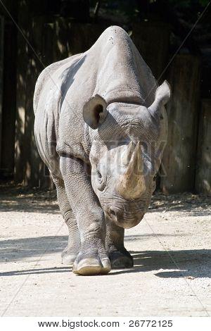 African rhinoceros in Zurich Zoo