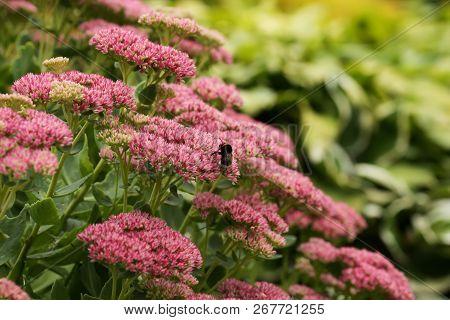 Bumblebee On Beautiful Decorative Garden Plant. Sedum (sedum Spectabile) At Autumn Sunny Day. Flower