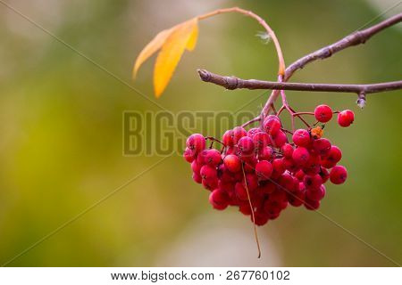 Rowan On A Branch. Red Rowan. Rowan Berries On Rowan Tree. Sorbus Aucuparia.