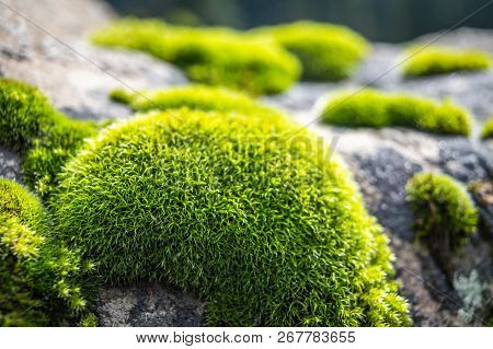 First Rays Of Sun Falling On Patches Of Moss On A Rock. Green Moss Backlit By Sun In The Morning. Cl