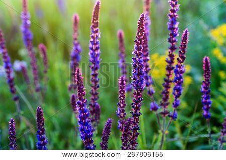 Fresh Purple Flowers Of Sage Or Salvia Divinorum