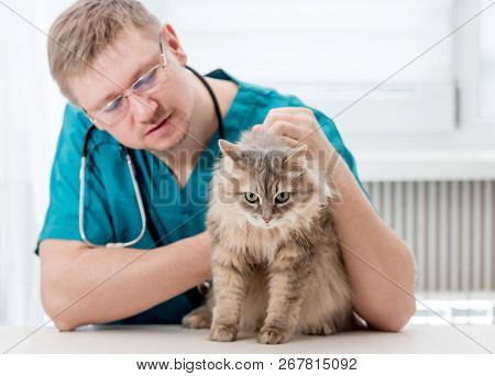 Veterinarian checking up grey cat at veterinary office. Veterinary doctor regular check-up for a cat. Pet healthcare concept